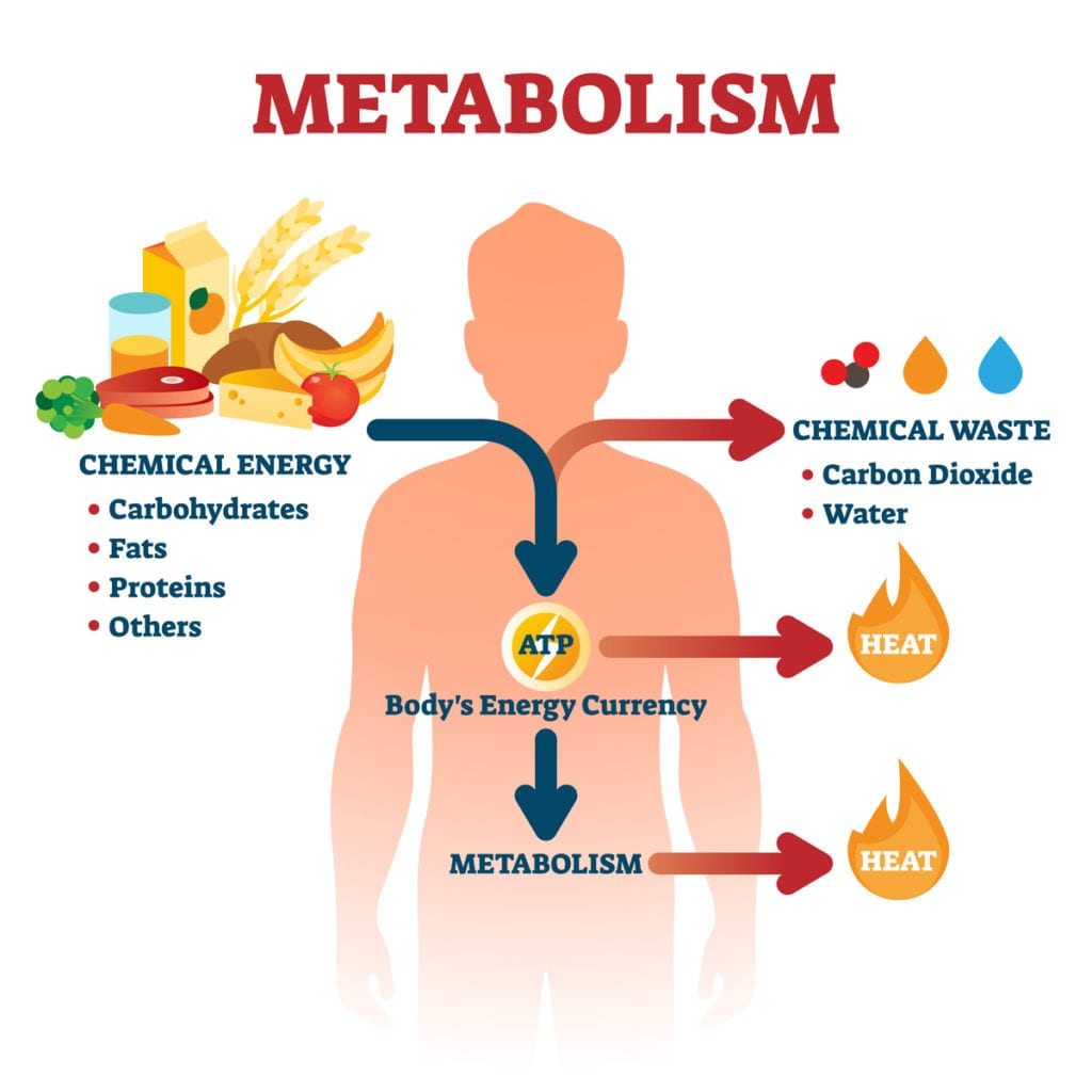 Your Metabolism did NOT Slow Down!